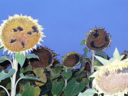 Sunflower faces .jpg