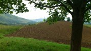maize shoots in Pyrenees .JPG