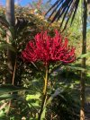 Waratah growing in Catalpa Cres.jpg