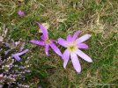 45-Hospitales-winter-crocus.jpg