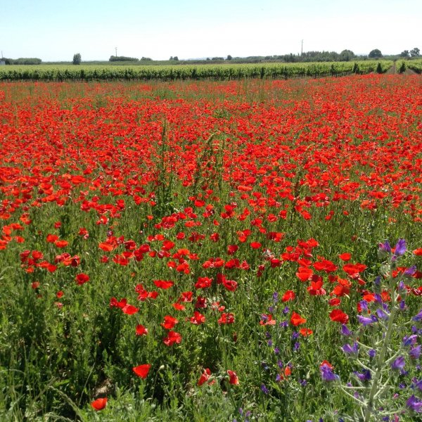 Poppy field between Ponte de Muge and Santarem
