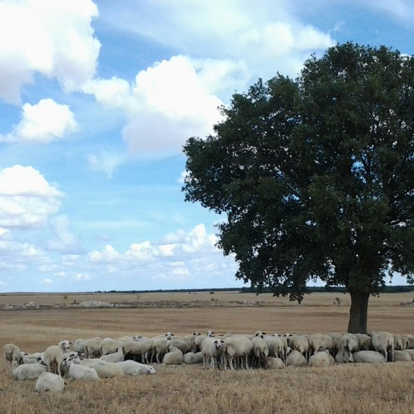 A Sheep Sun Shelter Tree ...