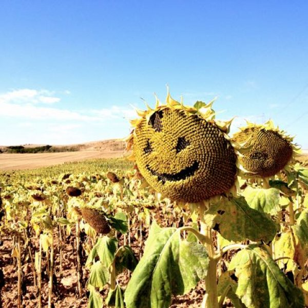 Sunflower on the camino