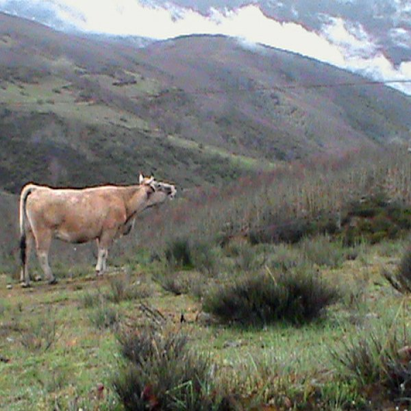 Montes de Leon Morning Mooing