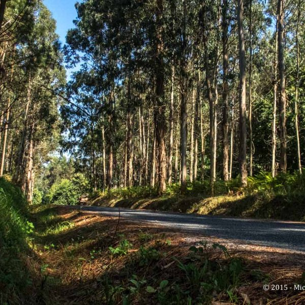As seen, from a ditch on the side of the road....1509 - Ingles - Pontedeume - Betanzos - Forest.