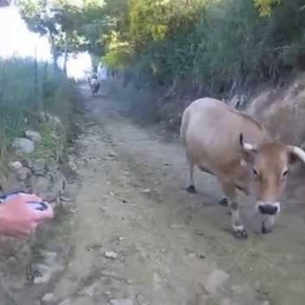 Camino cattle drive near O Cebreiro - YouTube