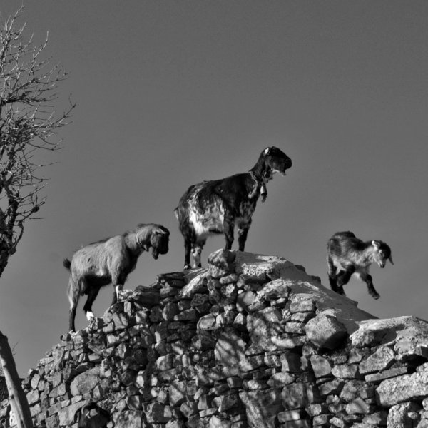"""Tender steps for Junior"" Goat family on a roof Foncebadon."