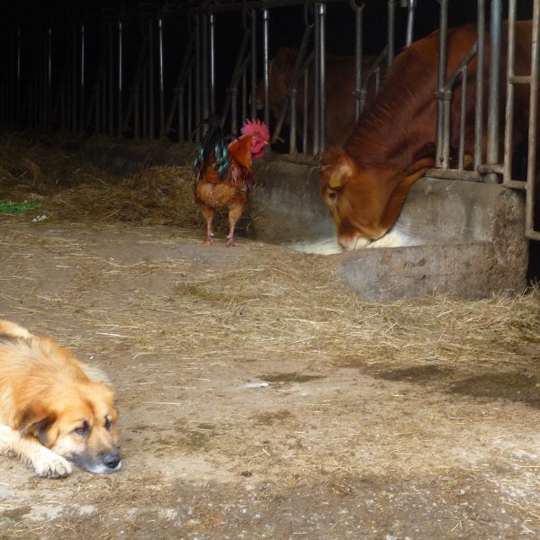 Rural Idyll, dog lies on guard as hen goes to thieve the cows food.