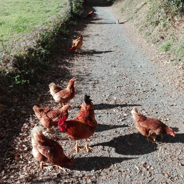 Truly free range eggs in the making