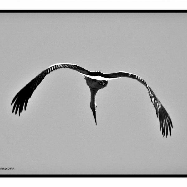 Stork in flight.