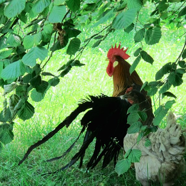 Proud French rooster