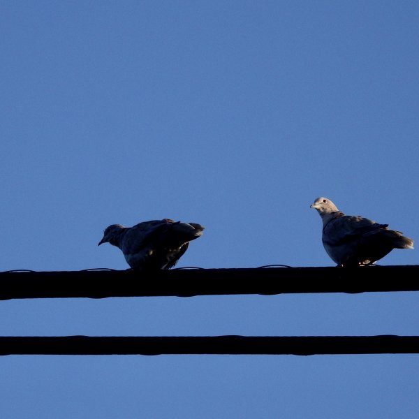 Birds on a wire, taking a break.