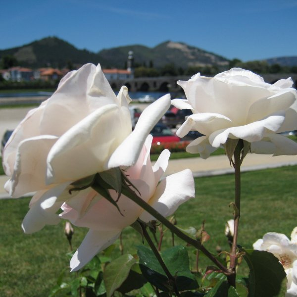 Roses and Ponte Lima