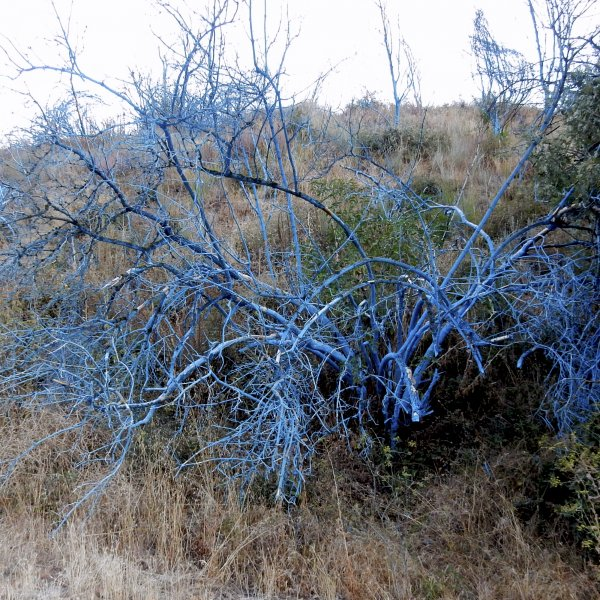 Blue leafless shrubs