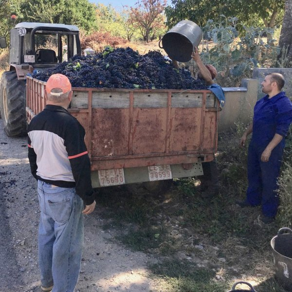 Grape Harvest near Villafranca del Bierzo